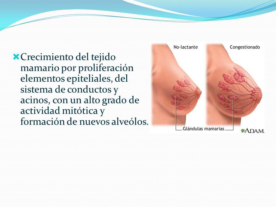 Crecimiento del tejido mamario por proliferación elementos epiteliales, del sistema de conductos y acinos, con un alto grado de actividad mitótica y f