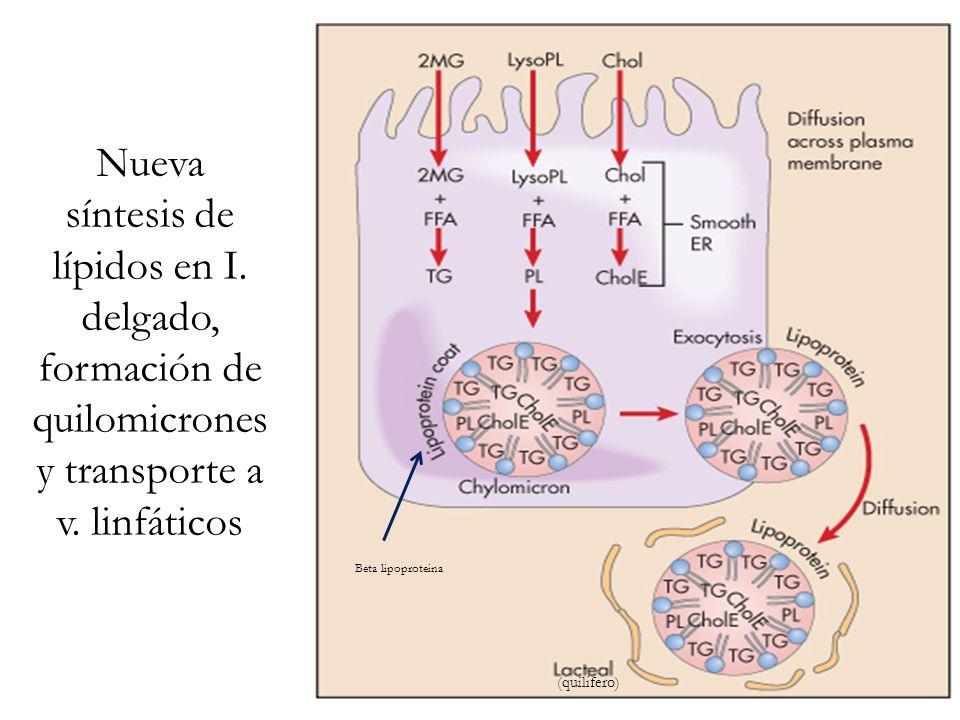 Nueva síntesis de lípidos en I. delgado, formación de quilomicrones y transporte a v. linfáticos (quilífero) Beta lipoproteina