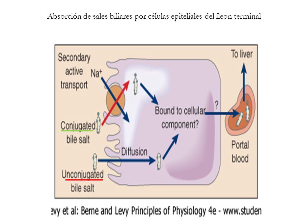 Absorción de sales biliares por células epiteliales del íleon terminal