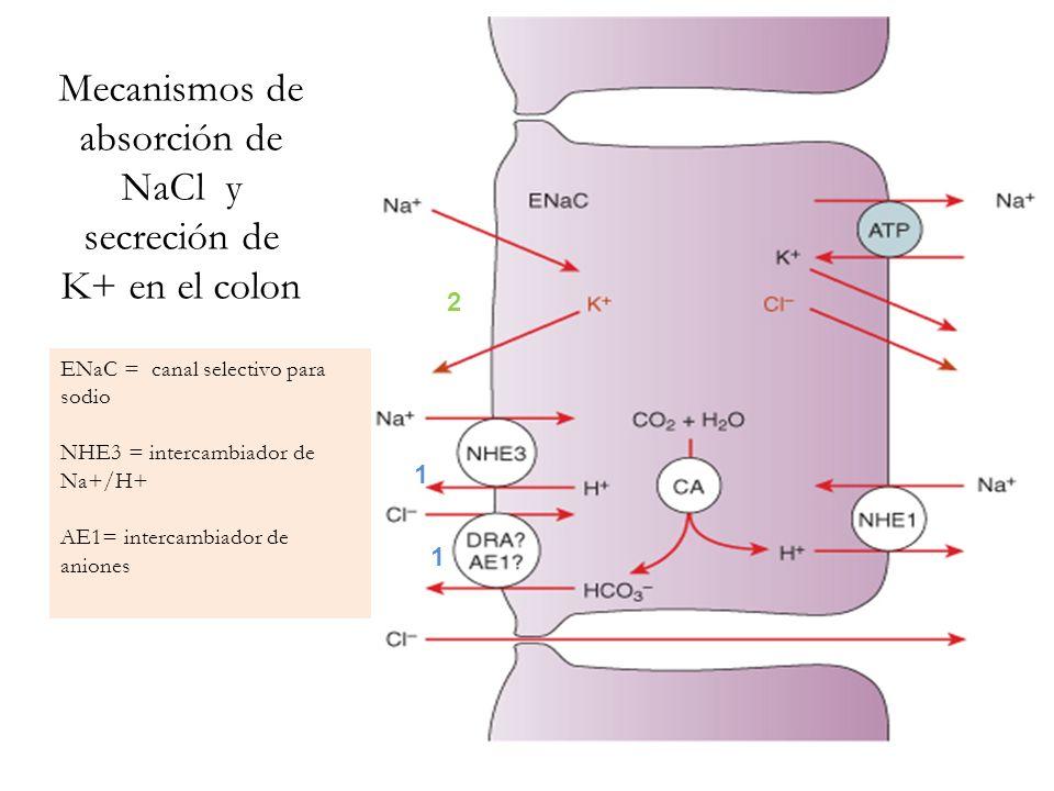 Mecanismos de absorción de NaCl y secreción de K+ en el colon 1 2 ENaC = canal selectivo para sodio NHE3 = intercambiador de Na+/H+ AE1= intercambiado