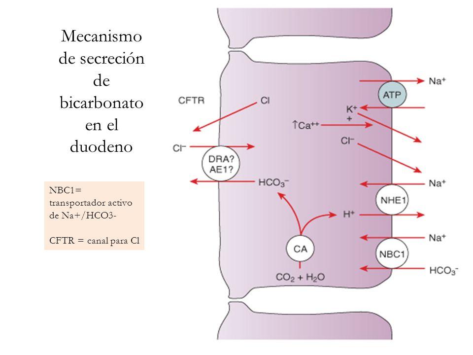 Mecanismo de secreción de bicarbonato en el duodeno NBC1= transportador activo de Na+/HCO3- CFTR = canal para Cl