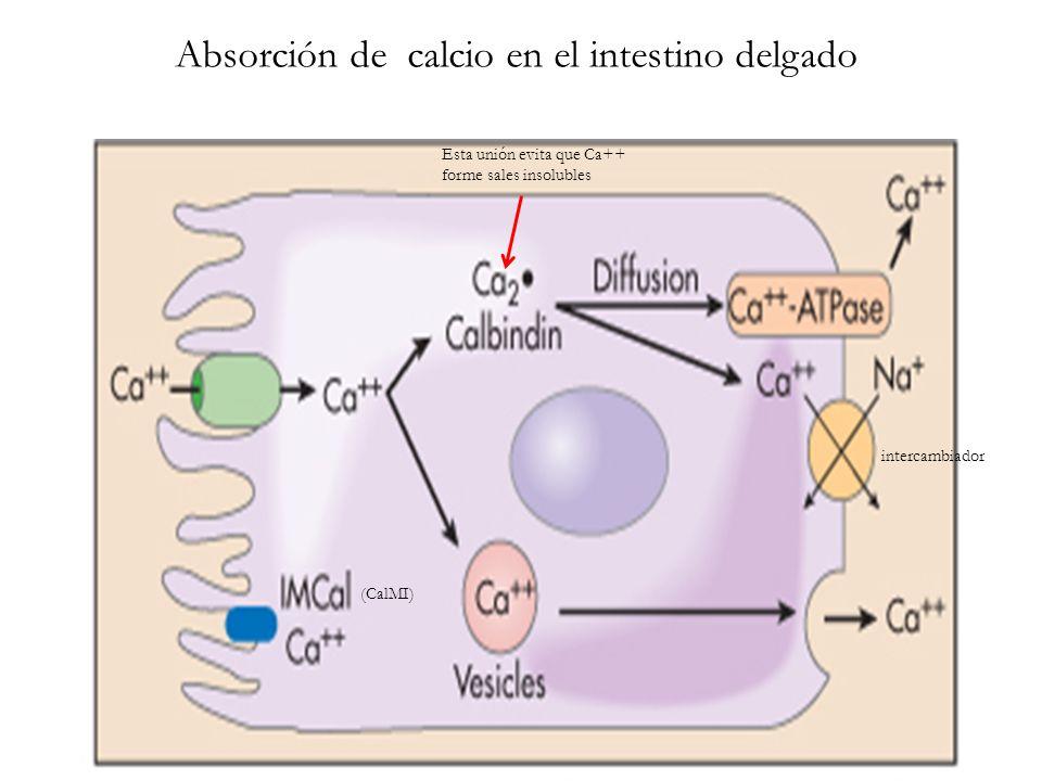 Absorción de calcio en el intestino delgado intercambiador Esta unión evita que Ca++ forme sales insolubles (CalMI)