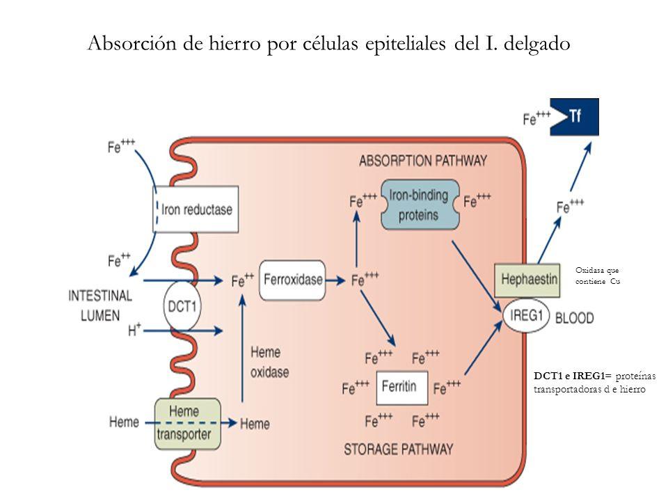 Absorción de hierro por células epiteliales del I. delgado Oxidasa que contiene Cu DCT1 e IREG1= proteínas transportadoras d e hierro