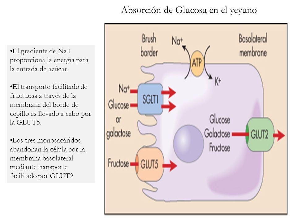 Absorción de Glucosa en el yeyuno El gradiente de Na+ proporciona la energía para la entrada de azúcar. El transporte facilitado de fructuosa a través