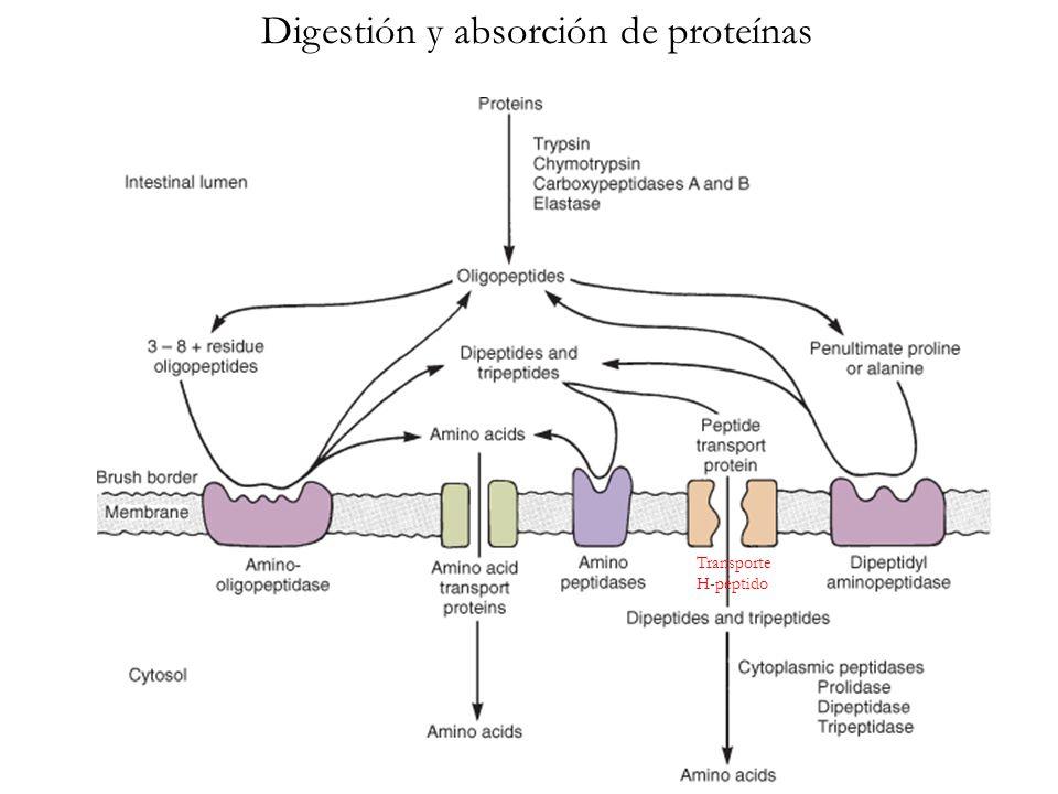 Digestión y absorción de proteínas Transporte H-péptido