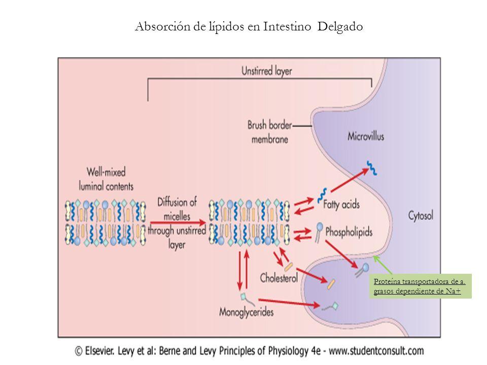 Absorción de lípidos en Intestino Delgado Proteína transportadora de a. grasos dependiente de Na+