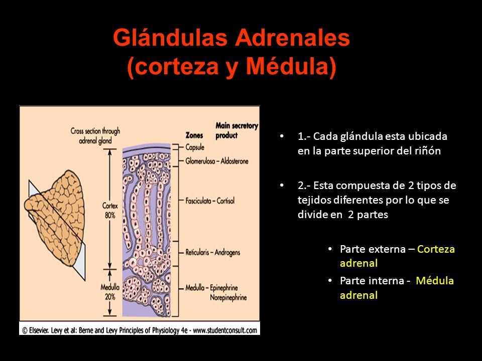 1.- Cada glándula esta ubicada en la parte superior del riñón 2.- Esta compuesta de 2 tipos de tejidos diferentes por lo que se divide en 2 partes Par