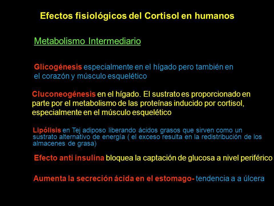 Efectos fisiológicos del Cortisol en humanos Metabolismo Intermediario Glicogénesis especialmente en el hígado pero también en el corazón y músculo es