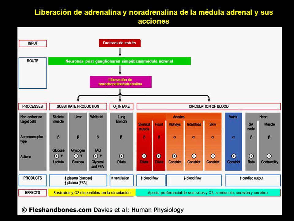Liberación de adrenalina y noradrenalina de la médula adrenal y sus acciones Aporte preferencial de sustratos y O2, a músculo, corazón y cerebroSustra