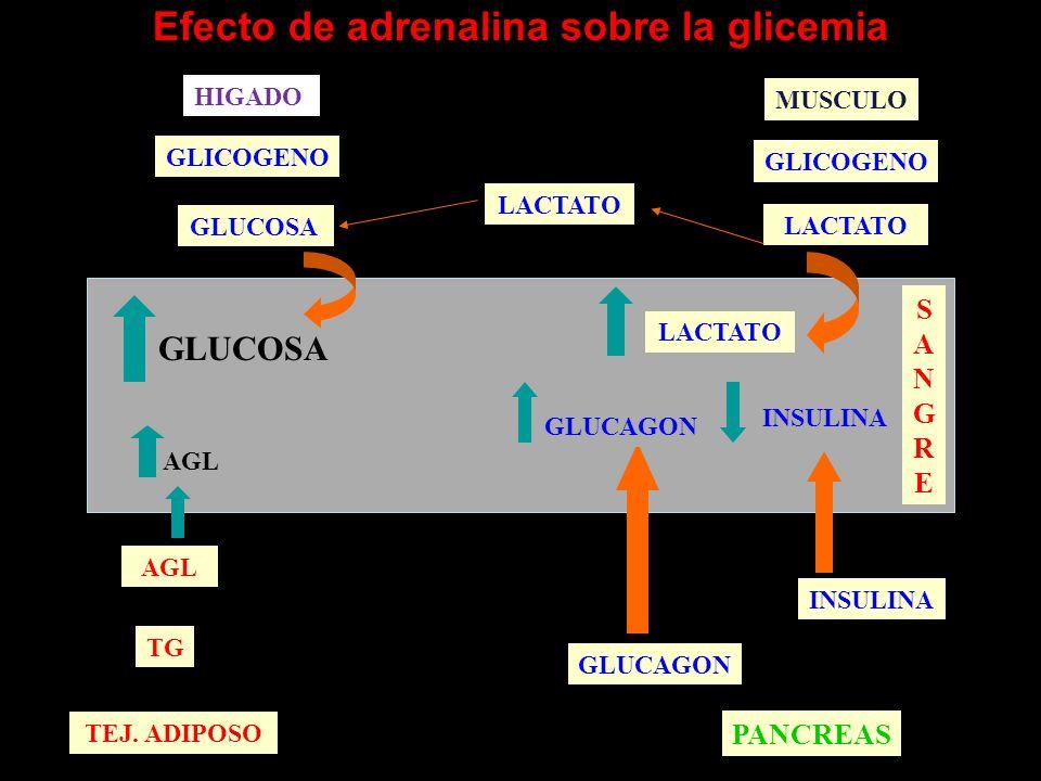 Efecto de adrenalina sobre la glicemia AGL TEJ. ADIPOSO TG AGL GLUCOSA SANGRESANGRE PANCREAS GLUCAGON INSULINA GLUCAGON INSULINA MUSCULO GLICOGENO LAC