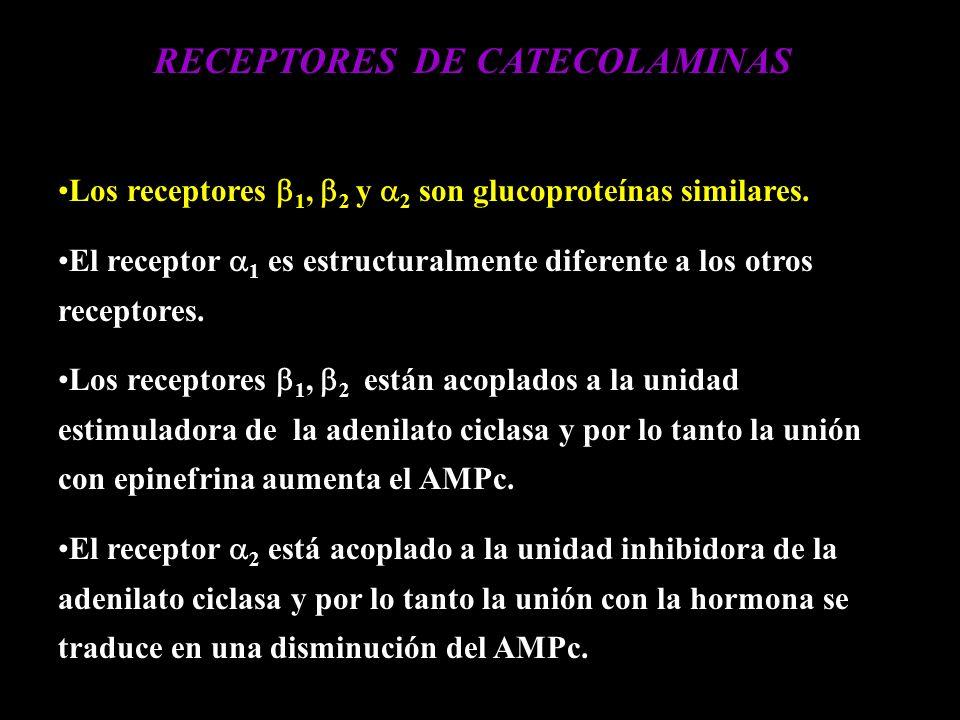 RECEPTORES DE CATECOLAMINAS Los receptores 1, 2 y 2 son glucoproteínas similares. El receptor 1 es estructuralmente diferente a los otros receptores.