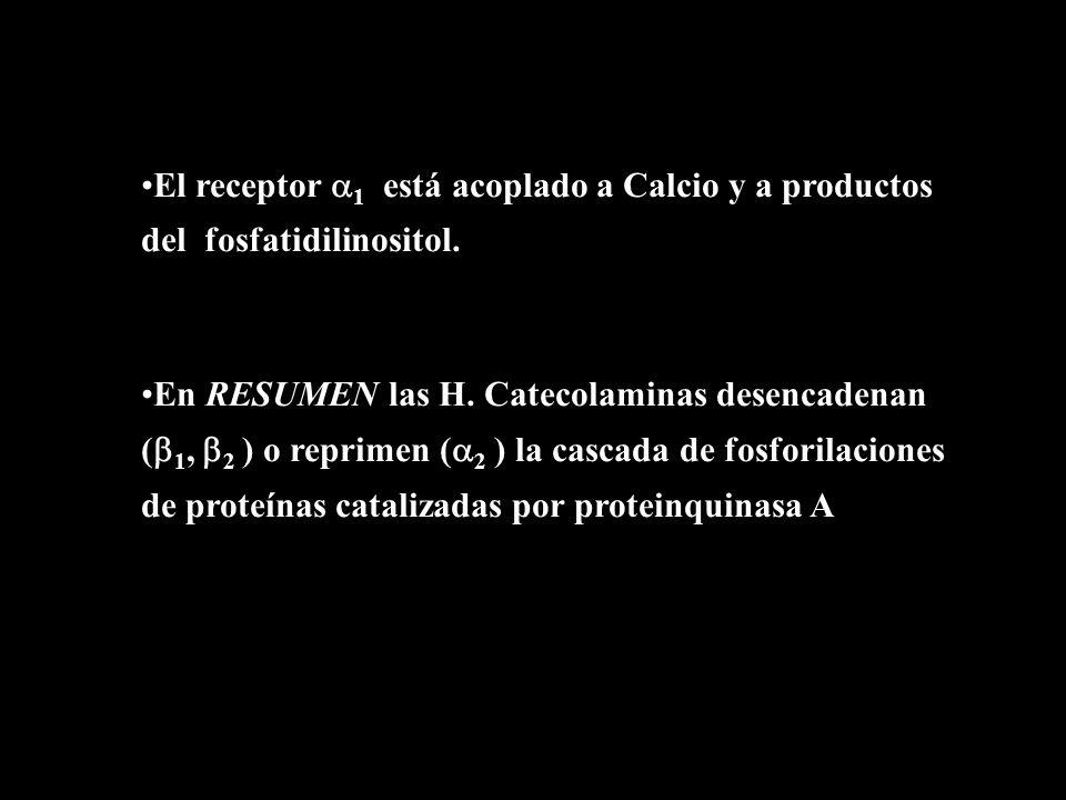 …cont El receptor 1 está acoplado a Calcio y a productos del fosfatidilinositol. En RESUMEN las H. Catecolaminas desencadenan ( 1, 2 ) o reprimen ( 2