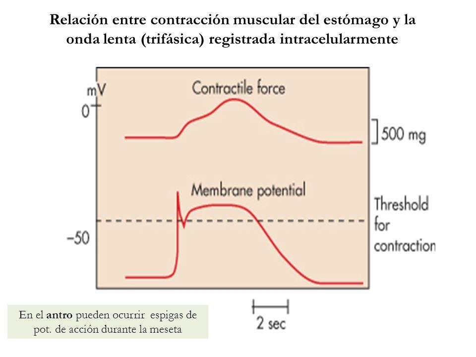 Relación entre contracción muscular del estómago y la onda lenta (trifásica) registrada intracelularmente En el antro pueden ocurrir espigas de pot. d
