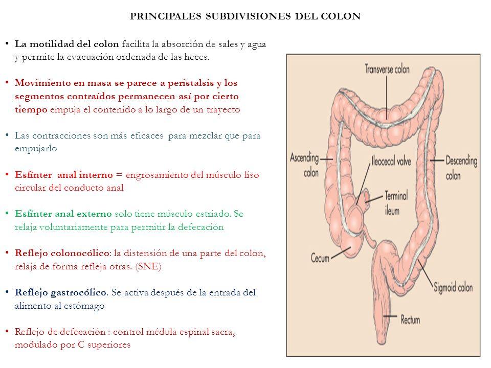 PRINCIPALES SUBDIVISIONES DEL COLON La motilidad del colon facilita la absorción de sales y agua y permite la evacuación ordenada de las heces. Movimi