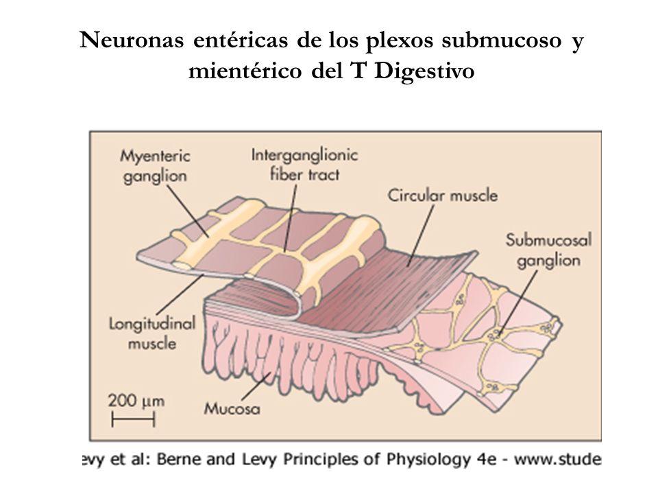 TIPOS DE NEURONAS DEL SISTEMA NERVIOSO ENTÉRICO MOTONEURONASFUNCION Motoneuronas para células musculares ExcitadorasFacilitar contrac.