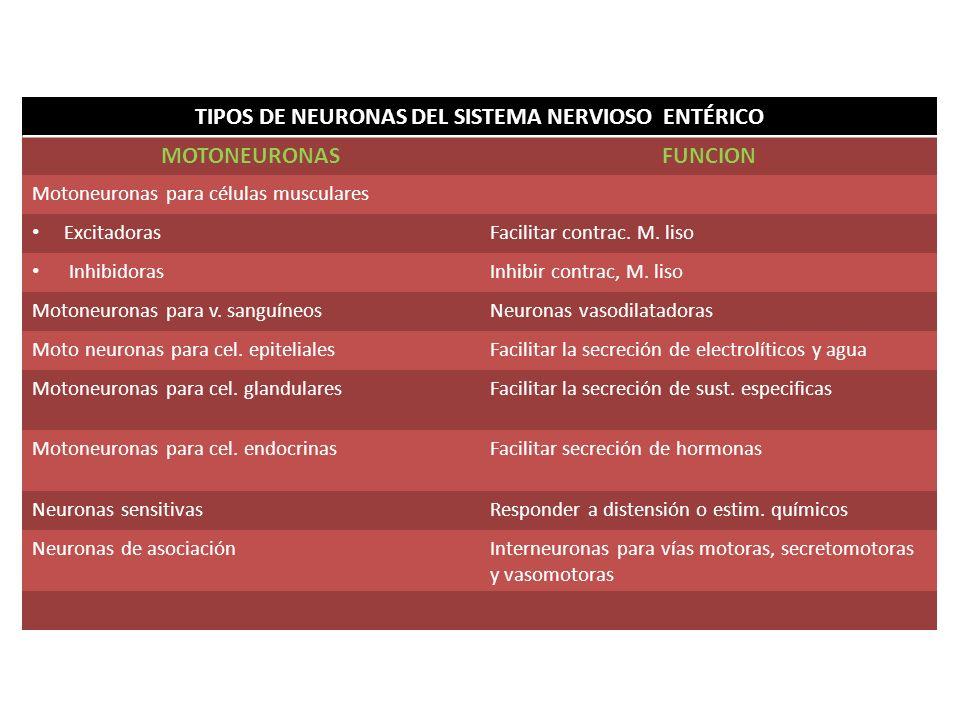 TIPOS DE NEURONAS DEL SISTEMA NERVIOSO ENTÉRICO MOTONEURONASFUNCION Motoneuronas para células musculares ExcitadorasFacilitar contrac. M. liso Inhibid