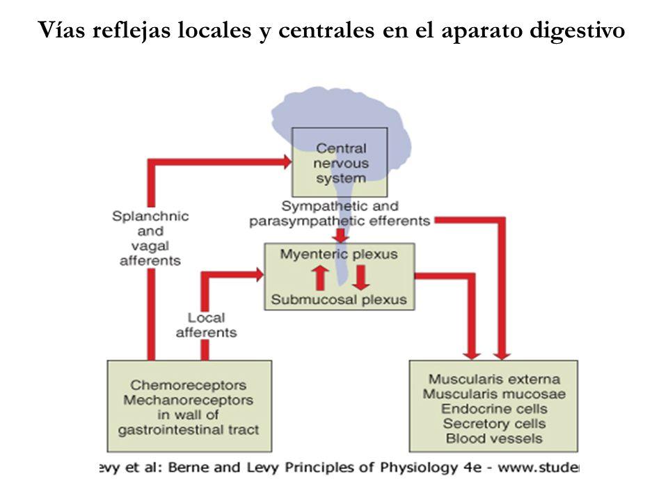 Vías reflejas locales y centrales en el aparato digestivo