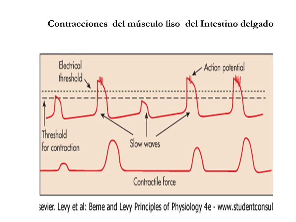 Motilidad Intestinal: Secuencias de contracciones segmentarias en I. delgado de gato