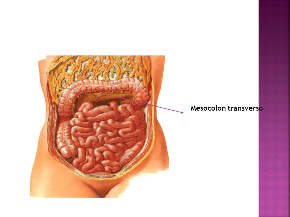 Mesocolon transverso