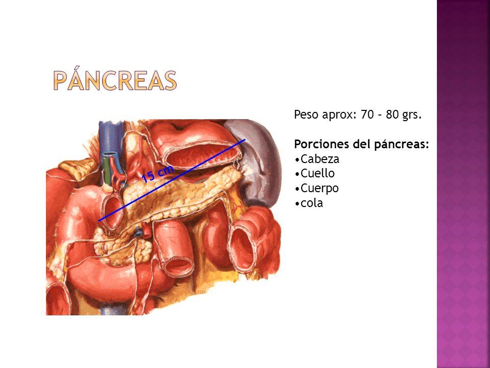 15 cm Peso aprox: 70 – 80 grs. Porciones del páncreas: Cabeza Cuello Cuerpo cola