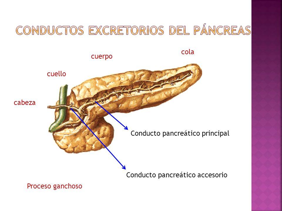 Conducto pancreático principal Conducto pancreático accesorio cola cuerpo cabeza cuello Proceso ganchoso
