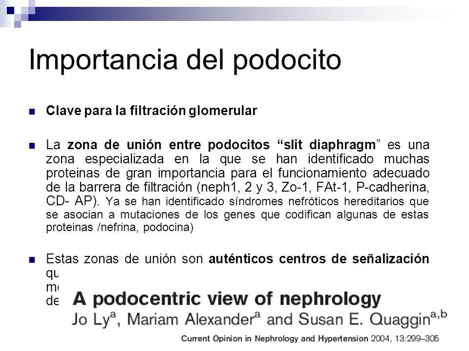 Importancia del podocito Clave para la filtración glomerular La zona de unión entre podocitos slit diaphragm es una zona especializada en la que se ha