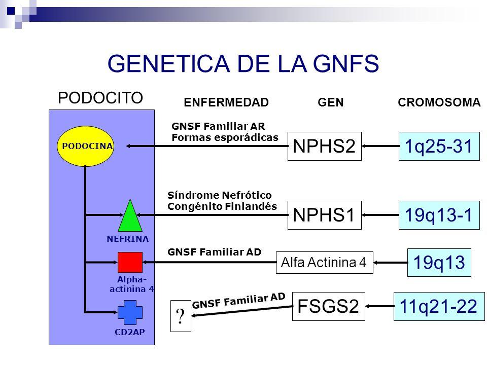 GENETICA DE LA GNFS PODOCITO PODOCINA NPHS2 NPHS1 Alfa Actinina 4 1q25-31 NEFRINA Alpha- actinina 4 CD2AP GNSF Familiar AR Formas esporádicas 19q13-1