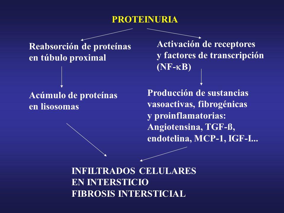 PROTEINURIA Reabsorción de proteínas en túbulo proximal Acúmulo de proteínas en lisosomas Activación de receptores y factores de transcripción (NF- B)