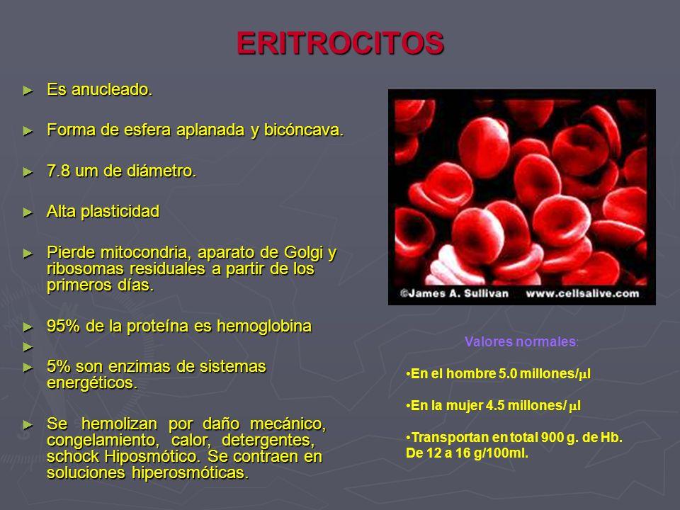 Metabolismo del hierro enterocito Fe++ apoferritina ferritina (fe+++) Fe ++ Fe++ Transferrina(CTST), (CST) Transferrina (CTST), (CST) Fe++ libre (sideremia) Apoferritina (Ferritina) sangre Fe+++ duodeno apoferritina Fe+++ HCL Fe ++