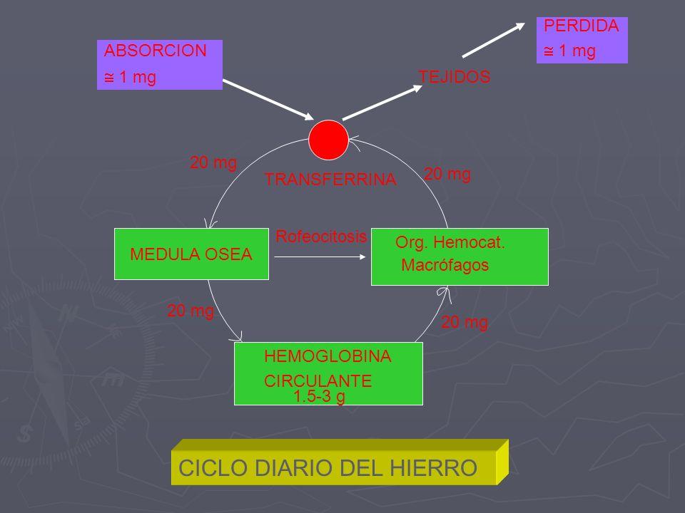 MEDULA OSEA Org. Hemocat. Macrófagos HEMOGLOBINA CIRCULANTE TEJIDOS PERDIDA 1 mg ABSORCION 1 mg TRANSFERRINA 20 mg CICLO DIARIO DEL HIERRO 1.5-3 g Rof