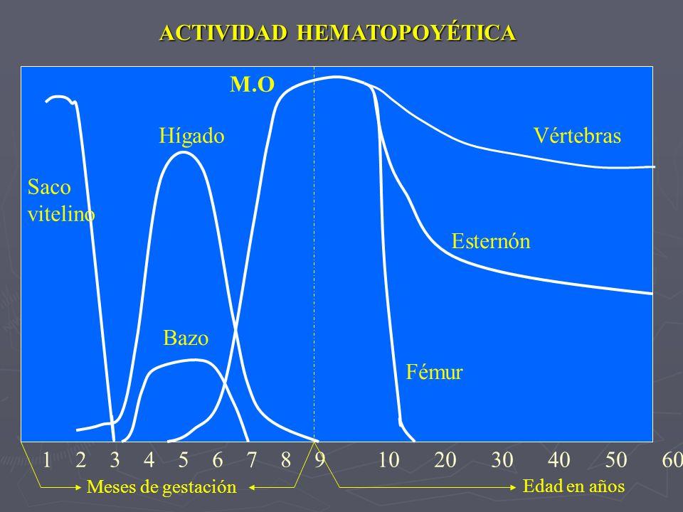 1 2 3 4 5 6 7 8 9 10 20 30 40 50 60 Fémur Esternón Vértebras Saco vitelino Hígado Bazo M.O Meses de gestación Edad en años ACTIVIDAD HEMATOPOYÉTICA