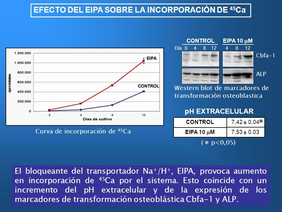 EFECTO DEL EIPA SOBRE LA INCORPORACIÓN DE 45 Ca El bloqueante del transportador Na + /H +, EIPA, provoca aumento en incorporación de 45 Ca por el sist