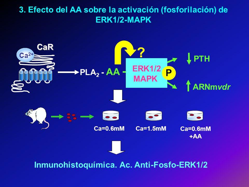 3. Efecto del AA sobre la activación (fosforilación) de ERK1/2-MAPK Ca=0.6mMCa=1.5mM Ca=0.6mM +AA CaR Ca 2+ PLA 2 - AA ARNmvdr PTH ERK1/2 MAPK P ? Inm