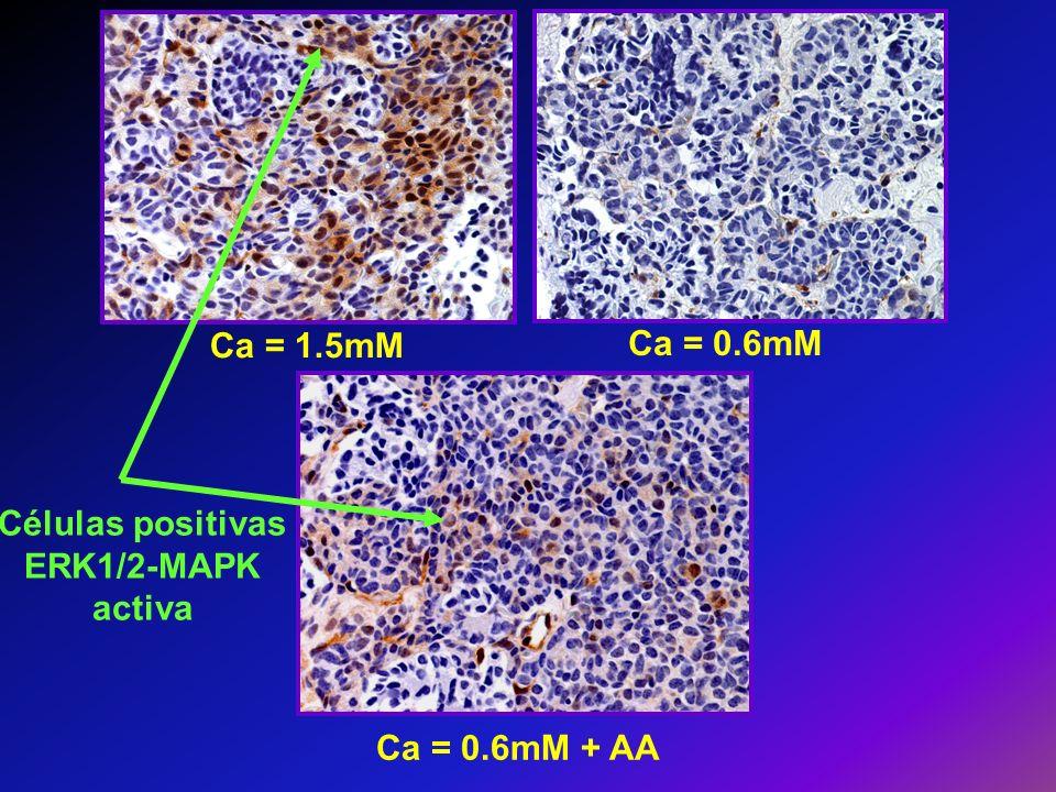 Ca = 1.5mM Ca = 0.6mM Ca = 0.6mM + AA Células positivas ERK1/2-MAPK activa