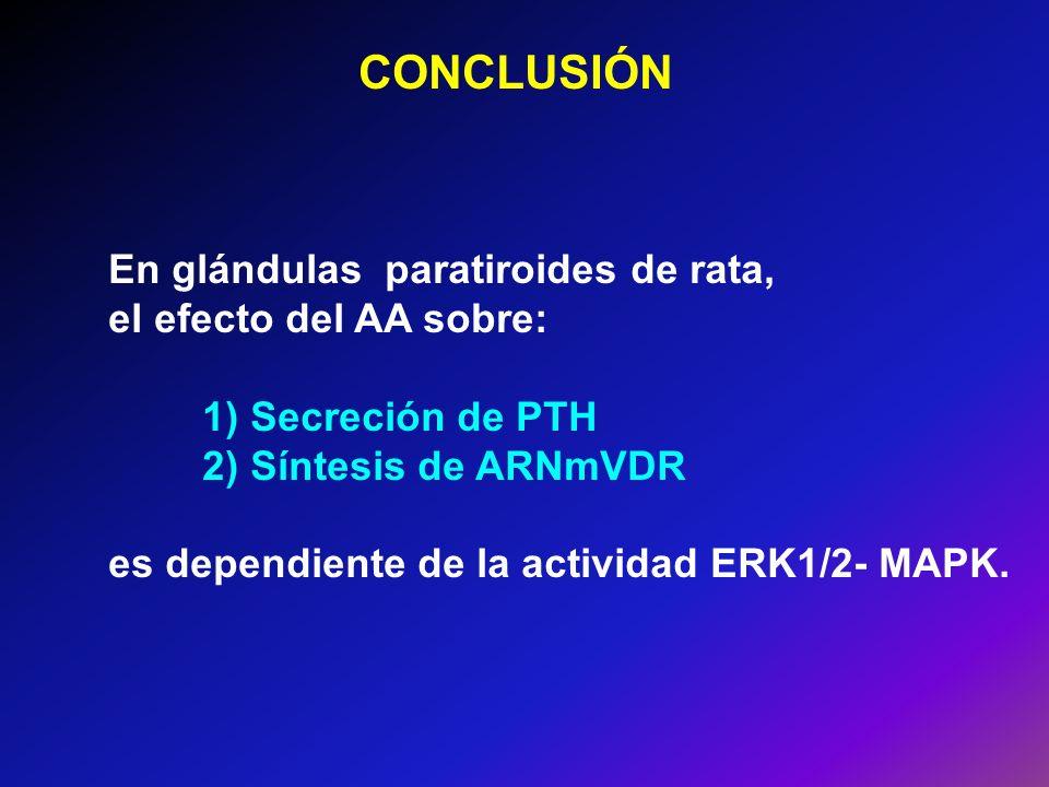 En glándulas paratiroides de rata, el efecto del AA sobre: 1) Secreción de PTH 2) Síntesis de ARNmVDR es dependiente de la actividad ERK1/2- MAPK. CON