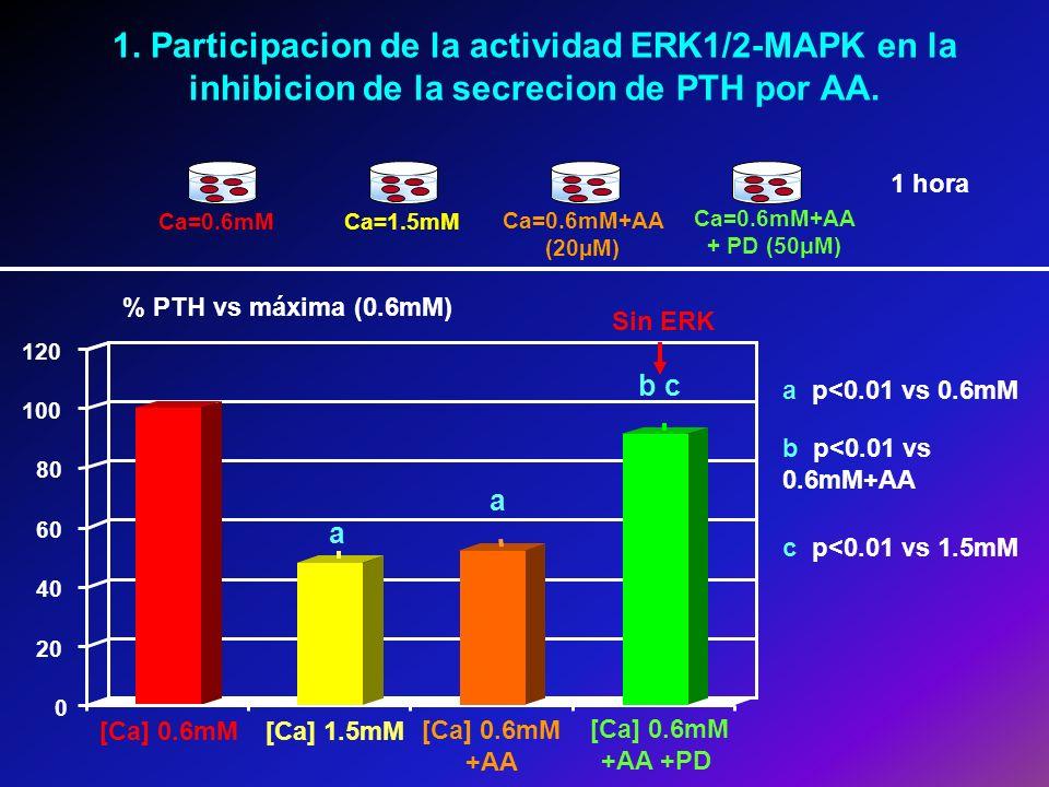 [Ca] 0.6mM [Ca] 1.5mM [Ca] 0.6mM +AA +PD [Ca] 0.6mM +AA 1. Participacion de la actividad ERK1/2-MAPK en la inhibicion de la secrecion de PTH por AA. %