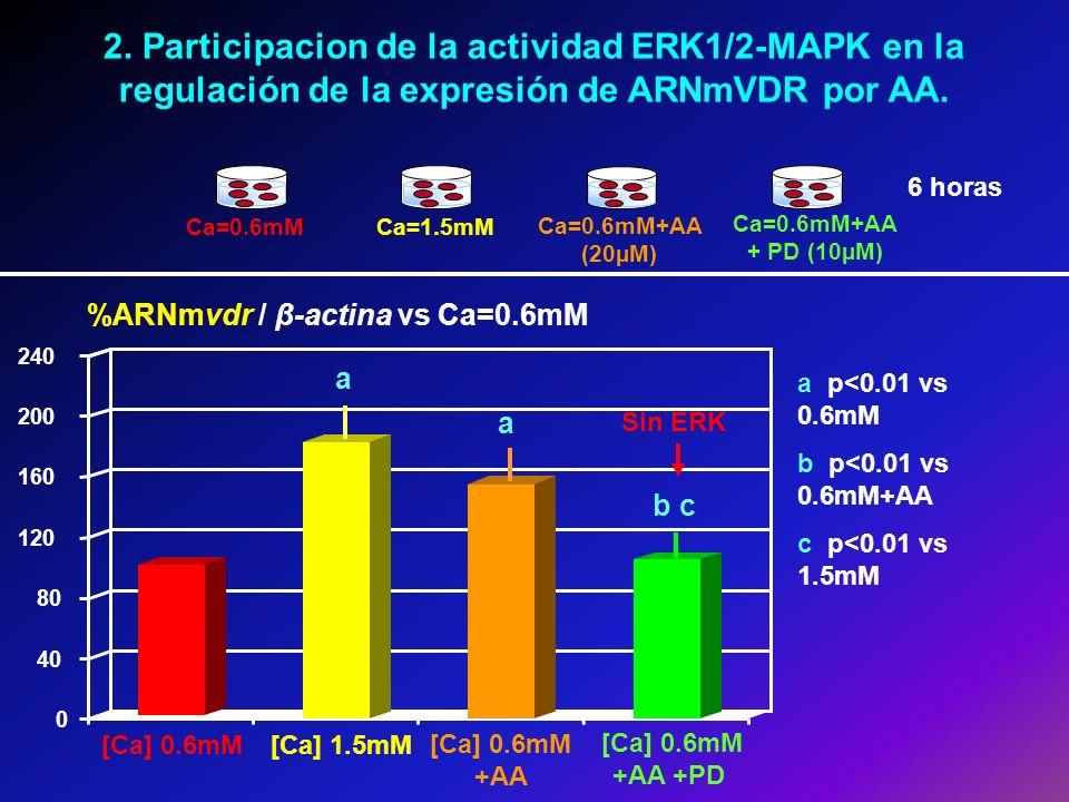 2. Participacion de la actividad ERK1/2-MAPK en la regulación de la expresión de ARNmVDR por AA. Ca=0.6mMCa=1.5mM Ca=0.6mM+AA + PD (10µM) Ca=0.6mM+AA