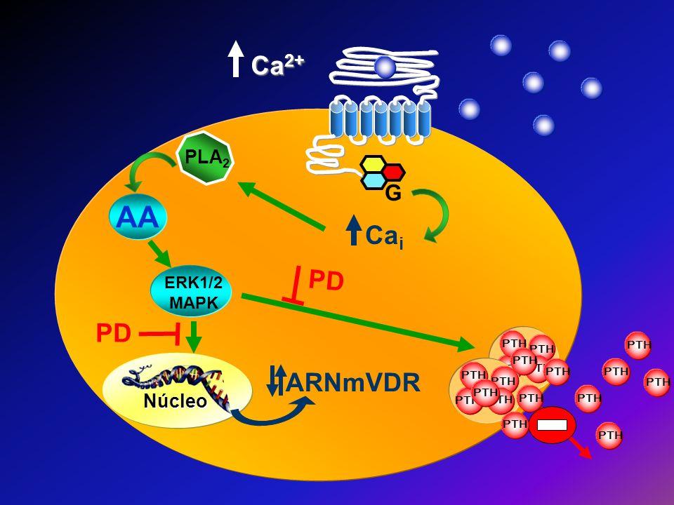 PLA 2 ARNmVDR PTH Núcleo G Ca i Ca 2+ PD PTH ERK1/2 MAPK AA
