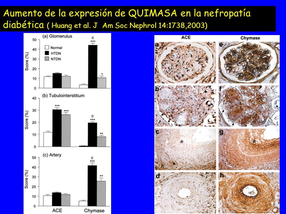 Aumento de la expresión de QUIMASA en la nefropatía diabética ( Huang et al. J Am Soc Nephrol 14:1738,2003)