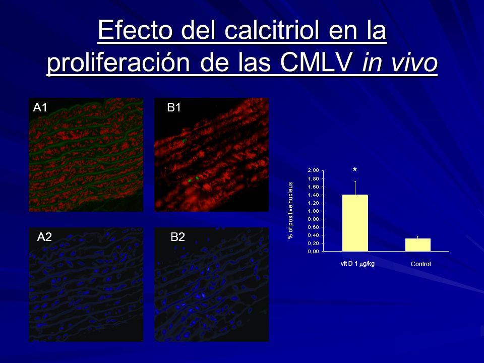 Efecto del calcitriol en la proliferación de las CMLV in vivo B A1 A2 B1 B2 Control vit D 1 g/kg * % of positive nucleus