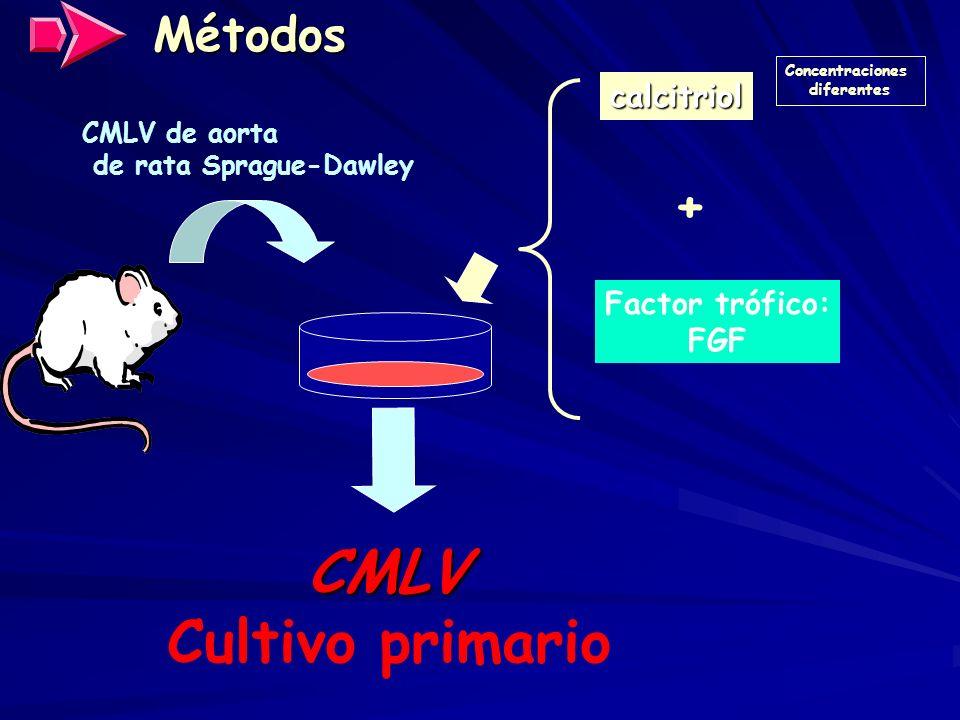 Métodos CMLV de aorta de rata Sprague-Dawley calcitriol Concentraciones diferentes CMLV Cultivo primario + Factor trófico: FGF