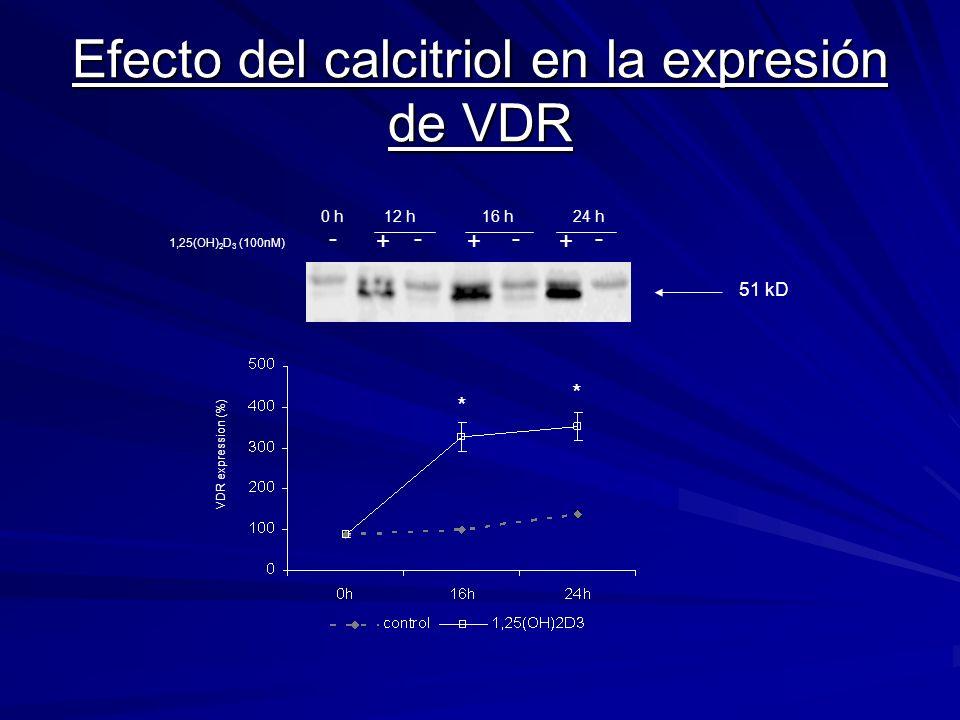 Efecto del calcitriol en la expresión de VDR VDR expression (%) 0 h12 h16 h24 h ---- +++ 1,25(OH) 2 D 3 (100nM) 51 kD * *