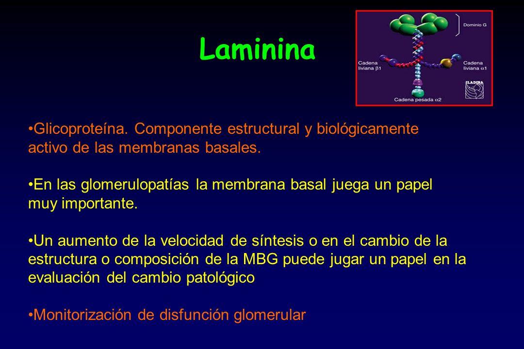 Laminina Glicoproteína. Componente estructural y biológicamente activo de las membranas basales. En las glomerulopatías la membrana basal juega un pap