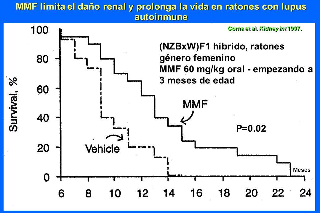 Corna et al. Kidney Int 1997. MMF limita el daño renal y prolonga la vida en ratones con lupus autoinmune P=0.02 Meses (NZBxW)F1 híbrido, ratones géne