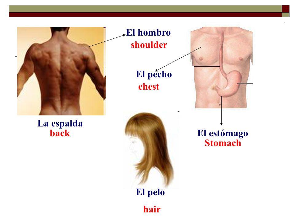 La espalda backEl estómago Stomach hair El pelo El pecho chest El hombro shoulder