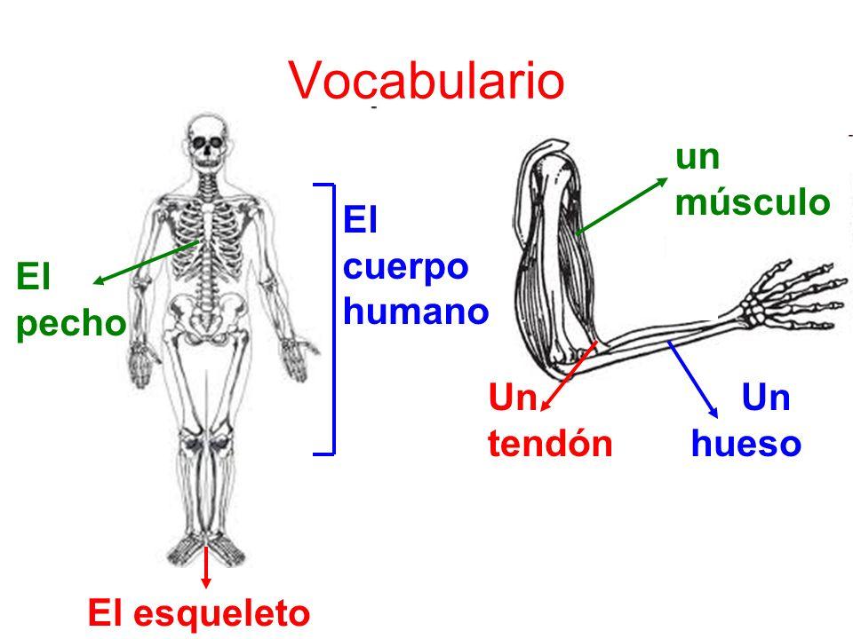 Vocabulario El pecho El cuerpo humano El esqueleto un músculo Un tendón Un hueso