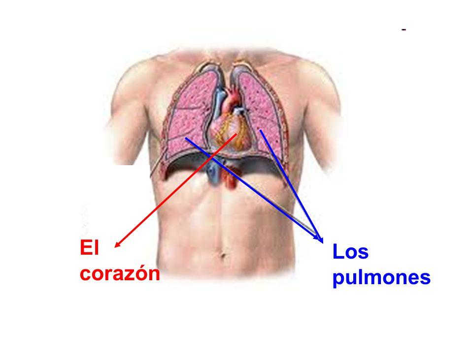Los pulmones El corazón