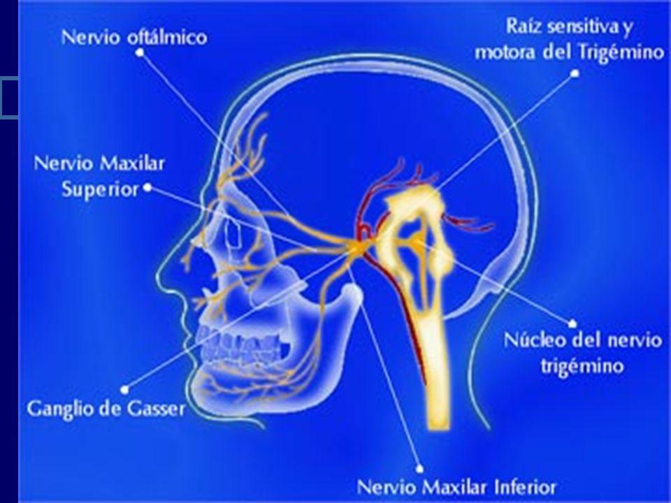 ORIGEN SENSITIVO Las fibras sensitivas nacen del ganglio de gasser o ganglio semilunar.