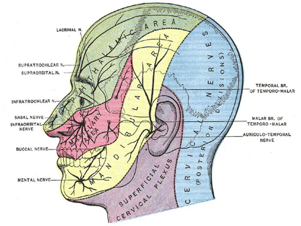Origen Motor Las fibras motoras nacen de células de dos núcleos masticadores; uno principal, situado en la sustancia reticular gris de la protuberancia; otro, accesorio, situado por arriba del precedente en el mesencefalo.