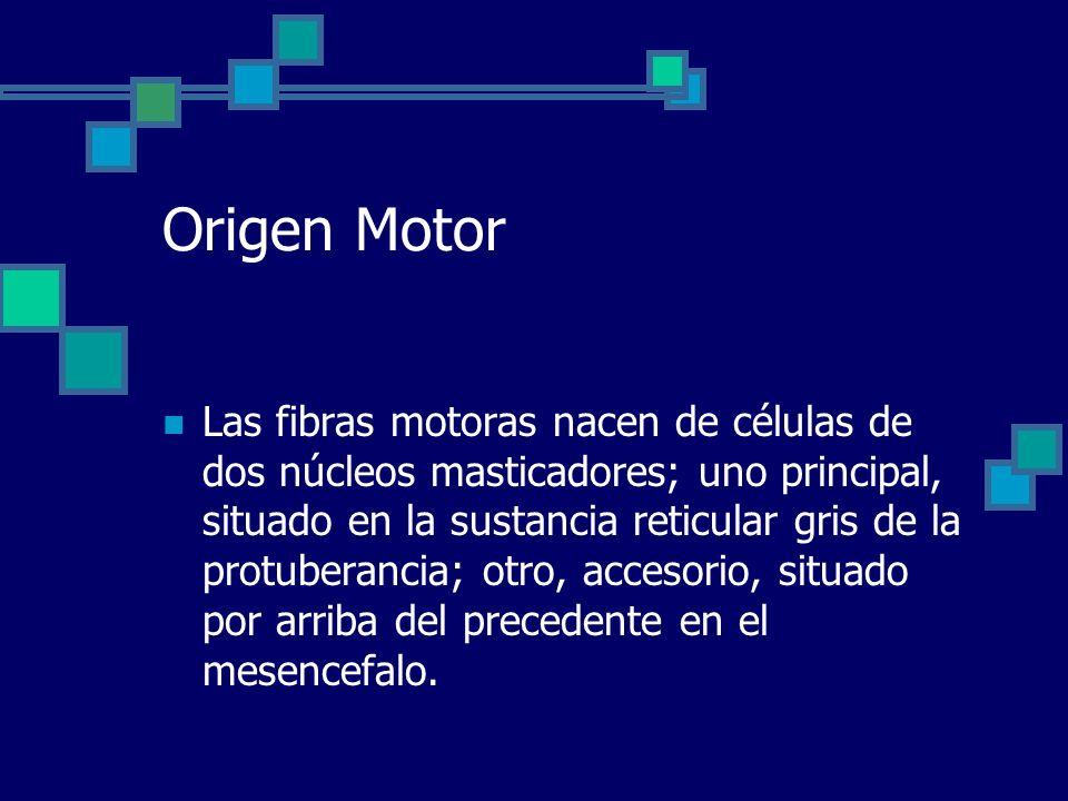 Origen Motor Las fibras motoras nacen de células de dos núcleos masticadores; uno principal, situado en la sustancia reticular gris de la protuberanci